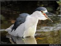 Night Heron and his Bath