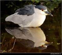 Night Heron Reflections