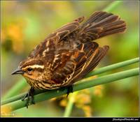 Female Redwing