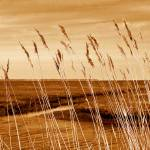 """Golden Grass"" by CherylK"