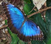Metalic blue butterfly