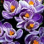 """Spring Time Crocus, Taken in 2009, Image 3"" by Shortrunusa"