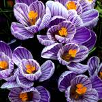 """Spring Time Crocus, Taken in 2009, Image 2"" by Shortrunusa"