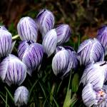 """Spring Time Crocus, Taken in 2009, Image 1"" by Shortrunusa"