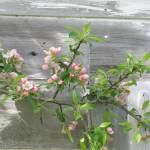 """""""Apple Blossoms by the Shed"""" by woodlarkny"""