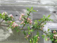 Apple Blossoms by the Shed