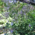 """""Lavender Mist"""" by woodlarkny"