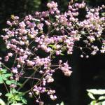 """Pink Meadow Rue"" by woodlarkny"