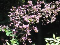 Pink Meadow Rue