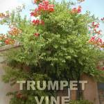 """Trumpet Vine"" by dpierce"