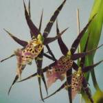 """""""Spider Orchid"""" by woodlarkny"""