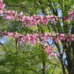 """Redbud, Early Spring"" by woodlarkny"
