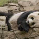 """Resting Panda"" by vnagornyy"