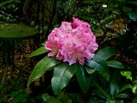 Rhodendron 1