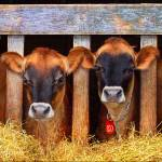 """ohio barn jersey cows"" by rchristophervest"