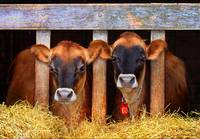 ohio barn jersey cows
