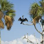 """Anhinga Drying Wings"" by staceylynnpayne"
