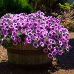 """Barrel of Purple Petunias"" by staceylynnpayne"