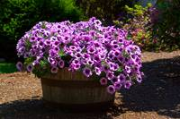 Barrel of Purple Petunias