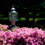 """Eco-Friendly Street Light in Rose Bush"" by staceylynnpayne"