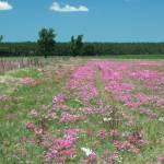 """""""Phlox field"""" by staceylynnpayne"""