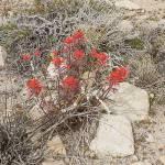 """""""Desert paintbrush"""" by HighDesertSky"""