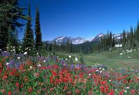 Alpine Meadow in Bloom (NPK-0054)