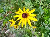 Blackeyed Susan in the field