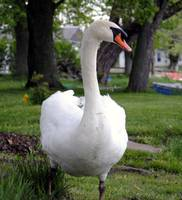 Jacque the Swan