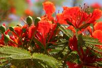 Flame Tree Blooms 2