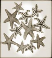 Starfish_Browntone_F