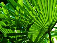 Fan Palm Weave 2