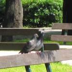 """""""Pigeon Love"""" by Oceanus87"""