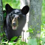 """Bear Cub in the Smoky Mountains"" by Laurel"