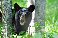 Bear Cub in the Smoky Mountains