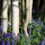 """""""Aspens and Lupine"""" by jimcrotty"""