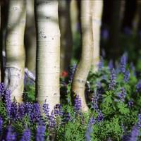 Aspens and Lupine by Jim Crotty