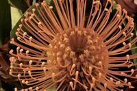 Pincushion Protea 35, Colorado
