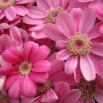 """""""Pink Flowers"""" by thegardenpathphotography"""