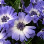 """Purple & White"" by thegardenpathphotography"