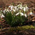 """Snowdrops"" by thegardenpathphotography"