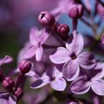 """""""Lilac"""" by thegardenpathphotography"""