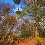 """""""Sandy Heath tree"""" by mitja"""