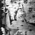"""Birch Bark"" by foxvox"