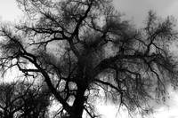 Cottonwood Silhouette.