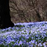 """Carpet of Blue"" by thegardenpathphotography"