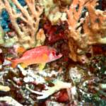 """Red Squirrelfish in Watercolor"" by Mac"