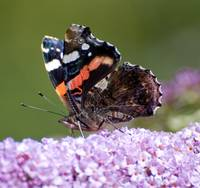 Red Admiral Up Close