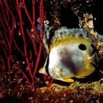 """""""Sleeping Spotfin Butterflyfish"""" by Lorraine_Sommer"""