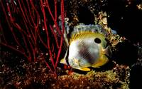 Sleeping Spotfin Butterflyfish